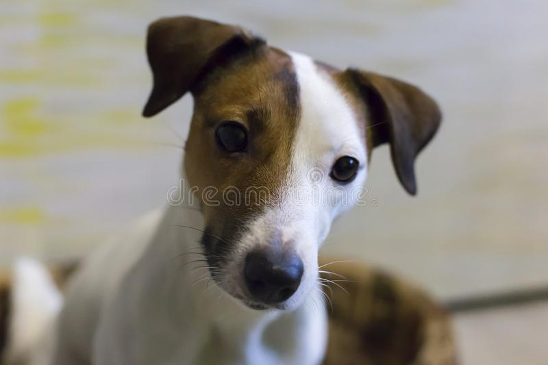 Jack Russell royalty-vrije stock afbeelding
