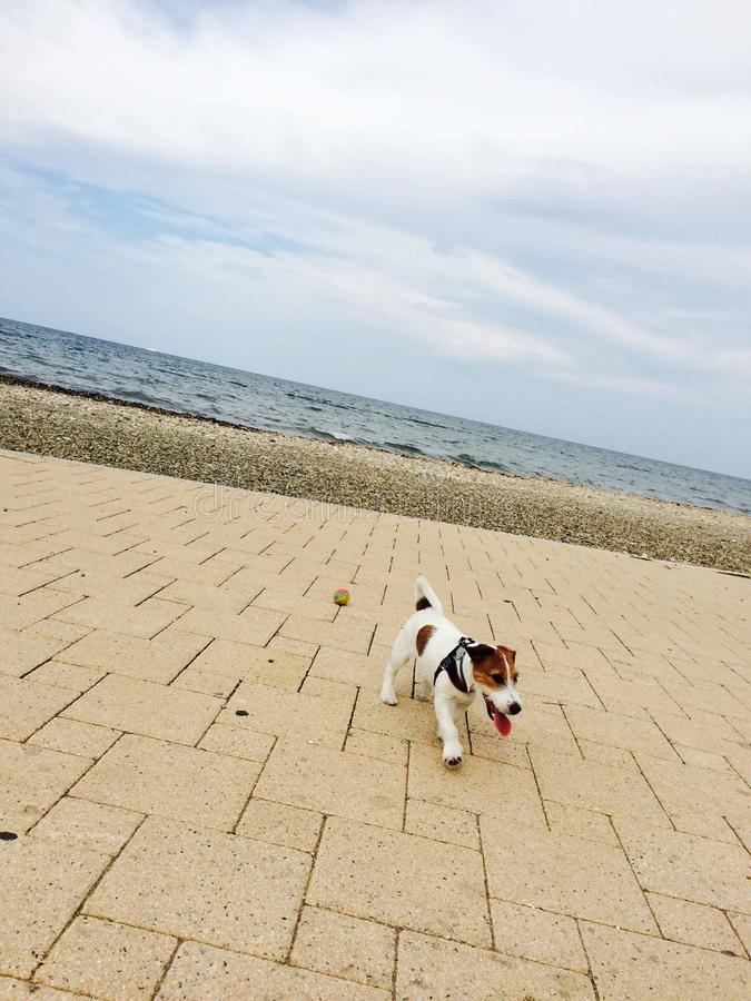 jack Russell obraz royalty free