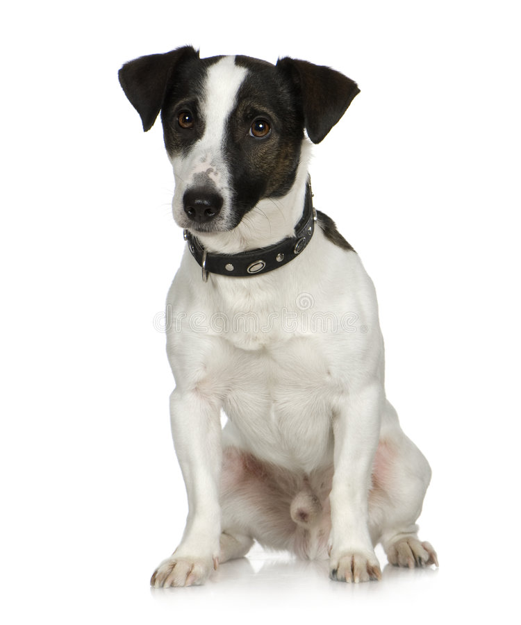 Jack russell (2 anni) immagine stock