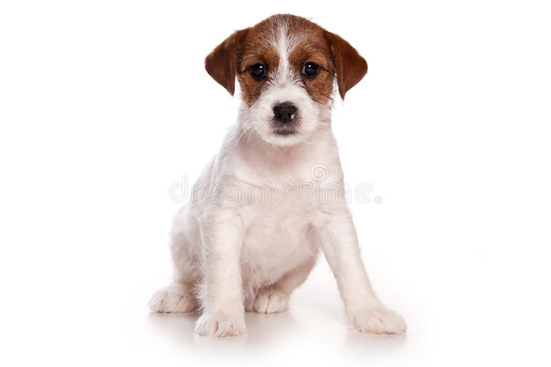Download Jack Russell Royalty Free Stock Photos - Image: 21117258