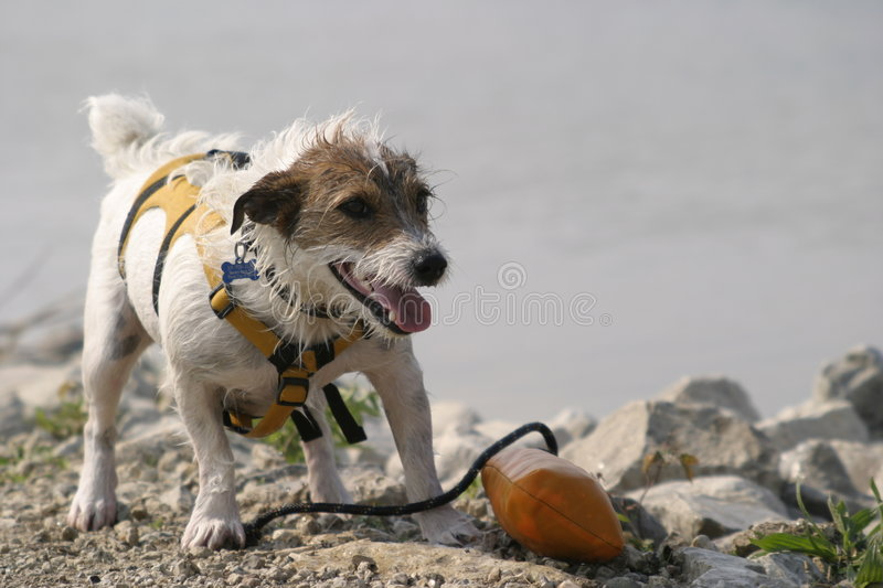 jack Russell obrazy royalty free