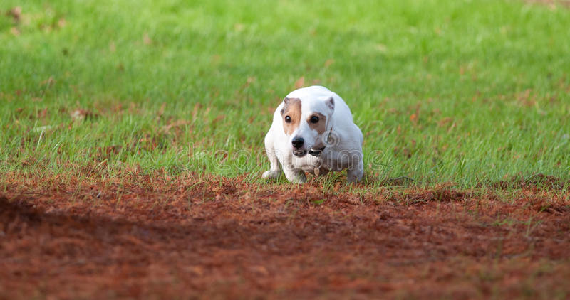 Download Jack Russell stock photo. Image of jack, fast, playing - 22401230