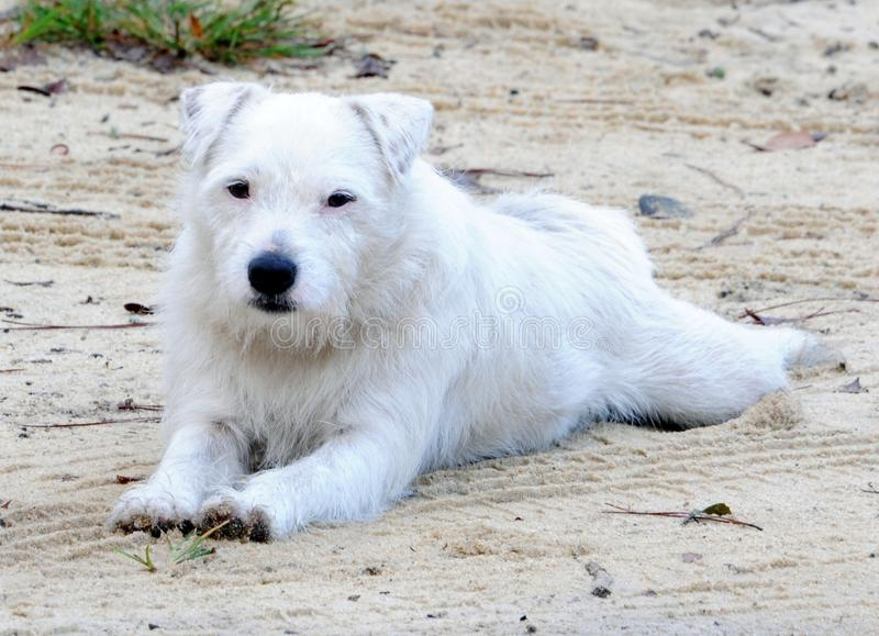 Download Jack russell stock photo. Image of hairy, resting, whiskers - 24033066
