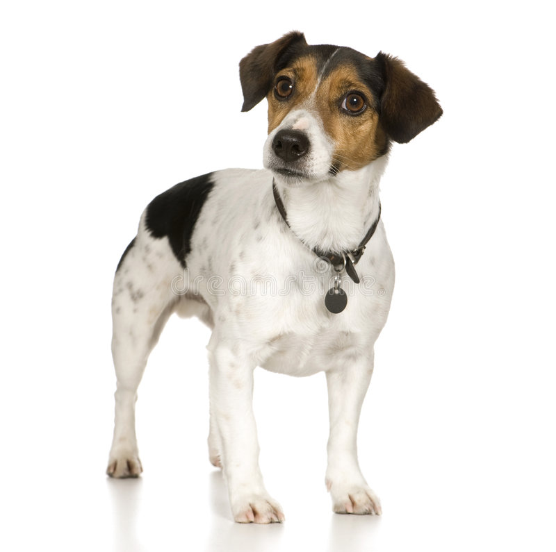 Jack russell (4 anos) imagens de stock royalty free
