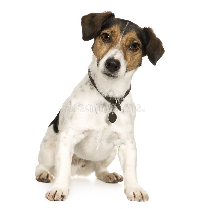 Jack russell (4 ans) images stock