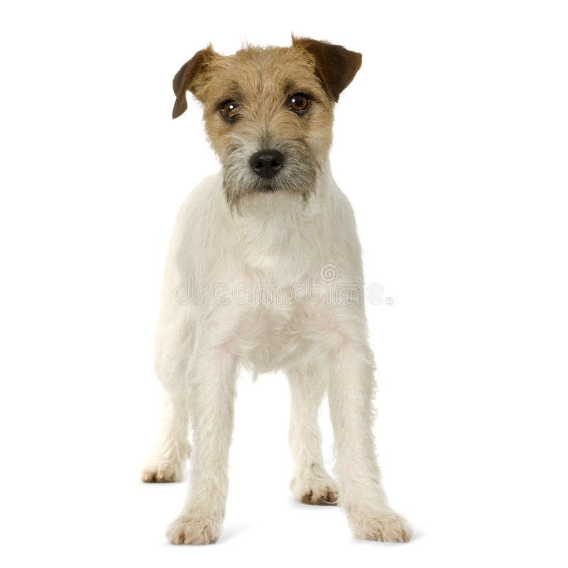Jack Russell stock foto