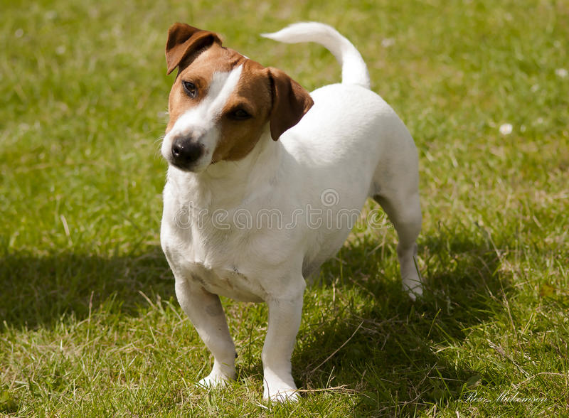 Jack Russell immagine stock