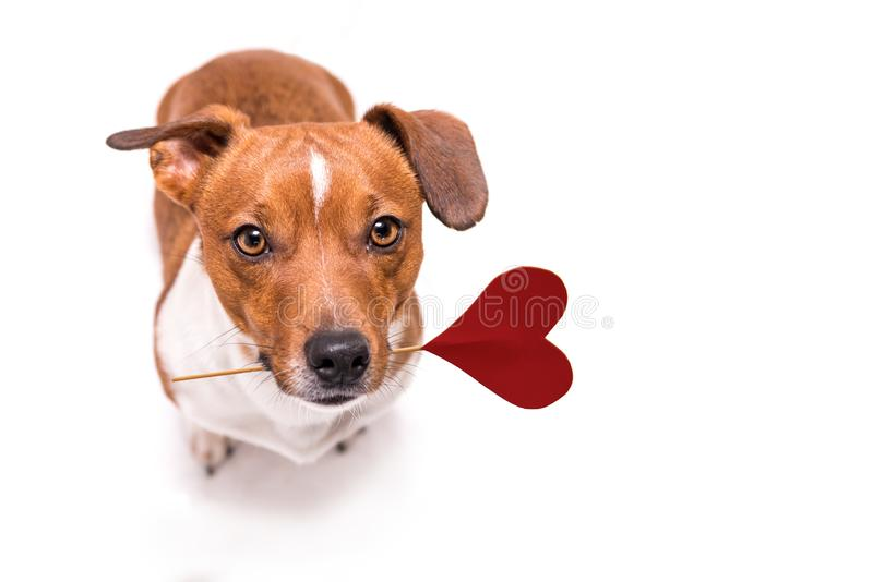 Jack Russell carries a heart royalty free stock image