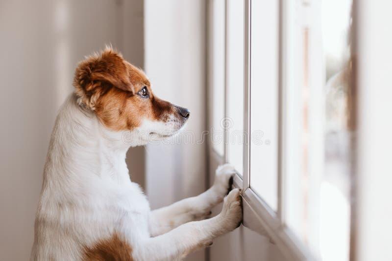 Jack russell chien à la maison regardant par la fenêtre à la recherche ou à l'attente de son propriétaire Animaux domestiques à l photos stock
