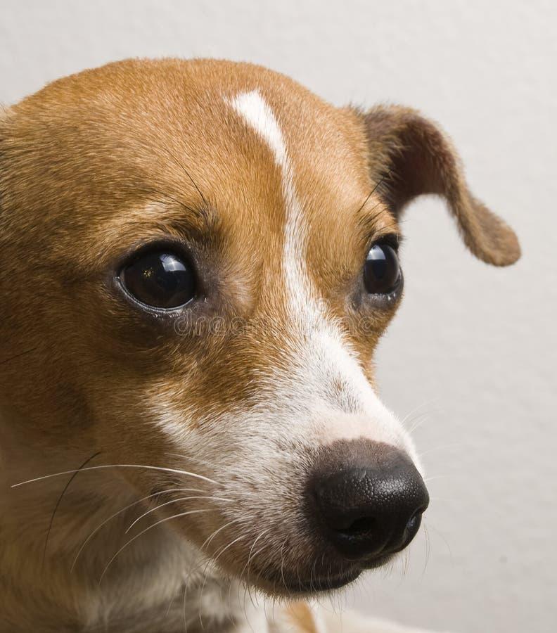 Jack Russell /Chihuahua blandninghund som ser upp med sött uttryck royaltyfri fotografi