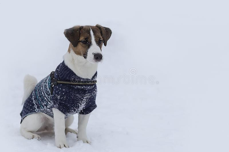 Jack Russell clothing stock image