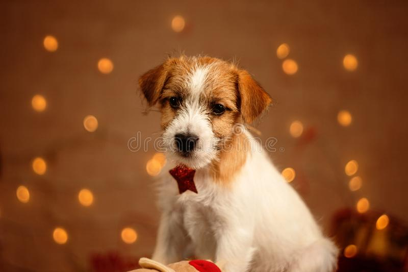 Jack russell cute little puppy portrait stock photo