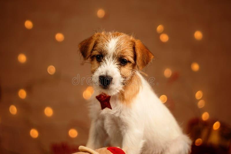 Jack russell cute little puppy portrait. Jack russell cute little puppy new year portrait stock photo