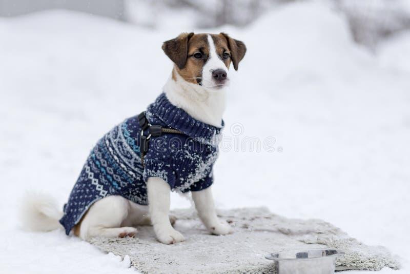 Jack Russell dans des vêtements d'hiver photo libre de droits