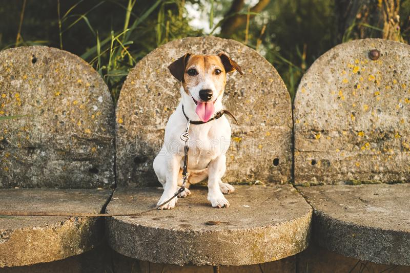 Jack-Russell-dog abandoned and left alone on the road or on the street, sitting on the background of concrete steps. Jack russell dog abandoned and left all stock photo