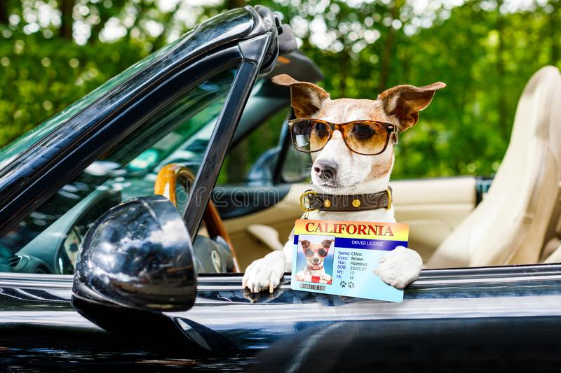 Dog drivers license driving a car. Jack russell dog in a car close to the steering wheel, ready to drive fast and save , with seat belt fastened, with drivers royalty free stock photography