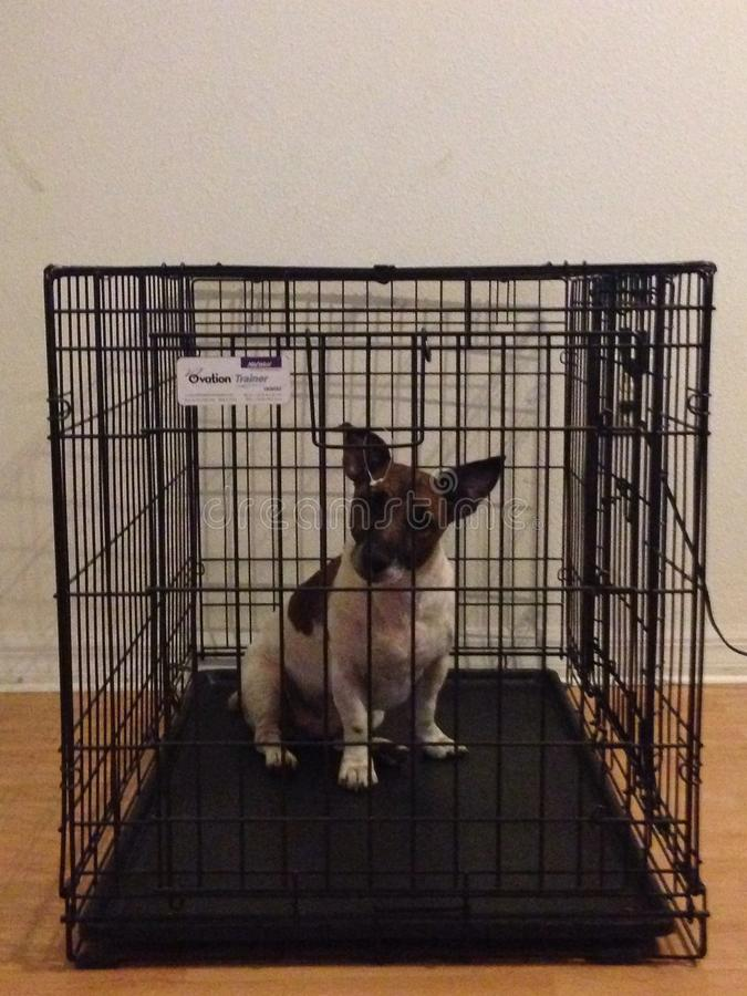 Jack Russell in dog Crate Ovation Trainer!. Jack Russell Terrier modeling in his crate royalty free stock image