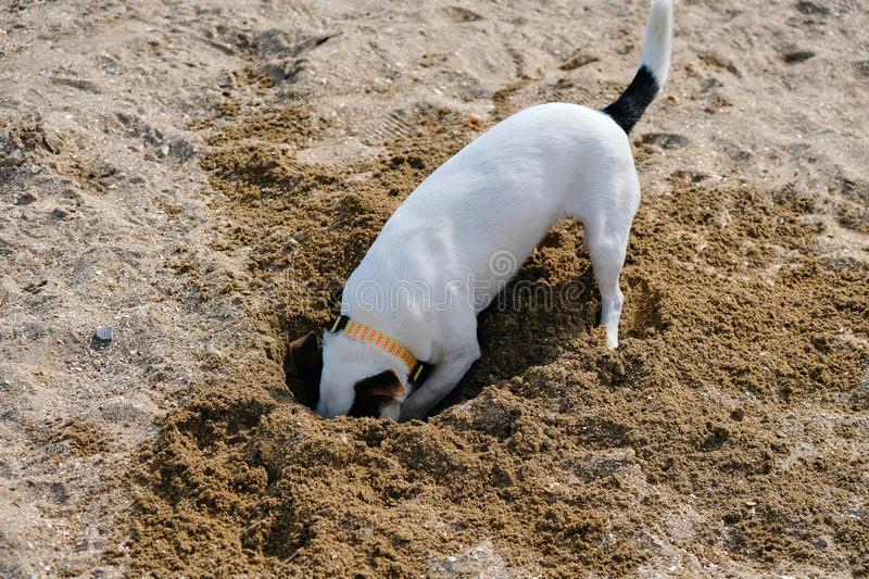 Jack russell dog digging a hole in the sand at the beach, ocean shore behind royalty free stock photography