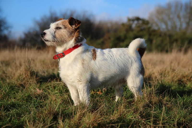 Jack Russell dog in field. A Jack Russell dog in field with red collar royalty free stock photography