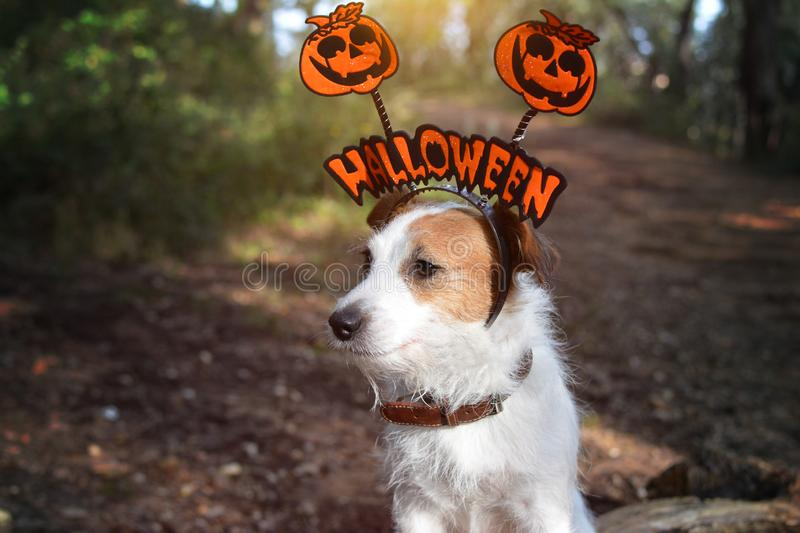 JACK RUSSELL DOG HALLOWEEN TEXT HAT COSTUME. DARK FOREST BACKGROUND. HORIZONTAL VIEW stock image