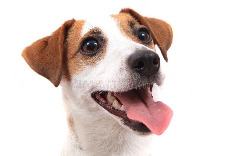 Jack russell dog head. Isolated on the white background royalty free stock images