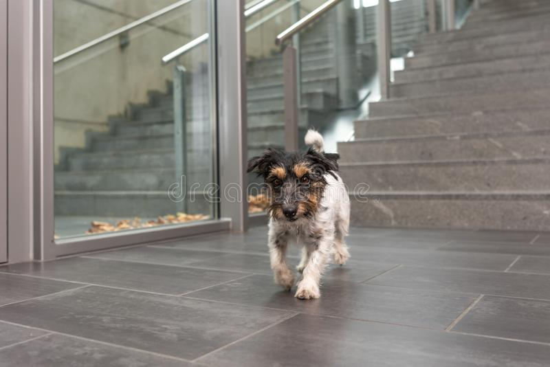 Jack Russell dog ist running in a public building. Jack Russell Terrier 3 years old. Dog on a stair in a public building stock photography