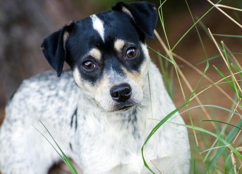 Jack Russell Dog Outdoor Adoption Photo photo libre de droits
