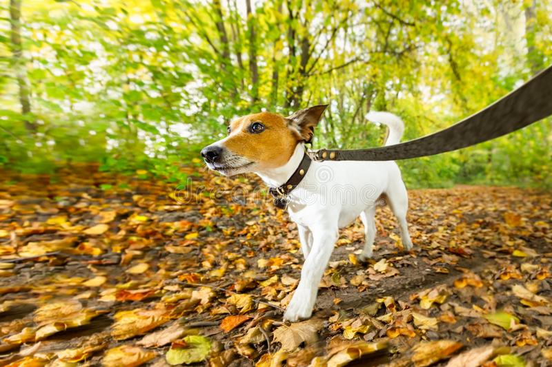 Dog running or walking in autumn. Jack russell dog running or walking together with owner , on leash, outdoors at the park or forest in autumn, fall leaves all stock photo