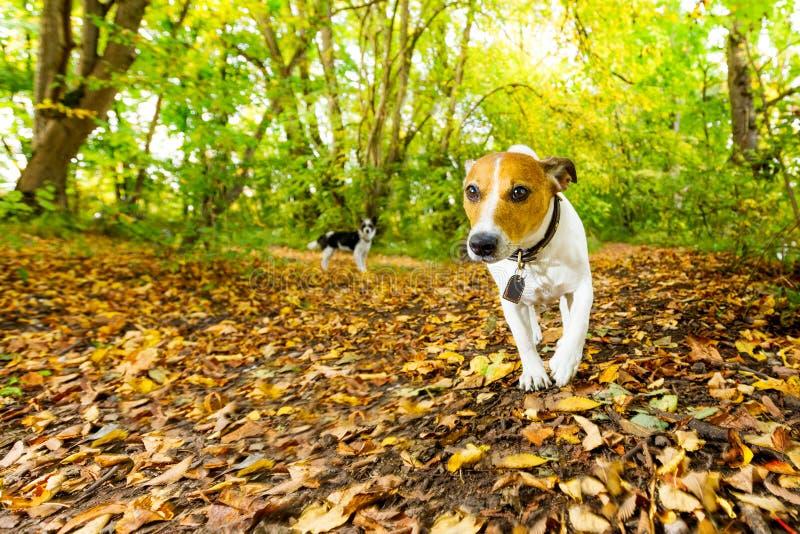 Dog running or walking in autumn royalty free stock image