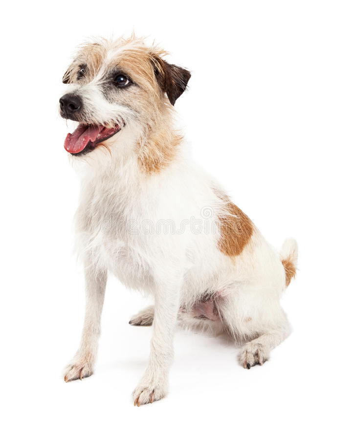 Jack Russell Dog Sitting atento fotos de stock