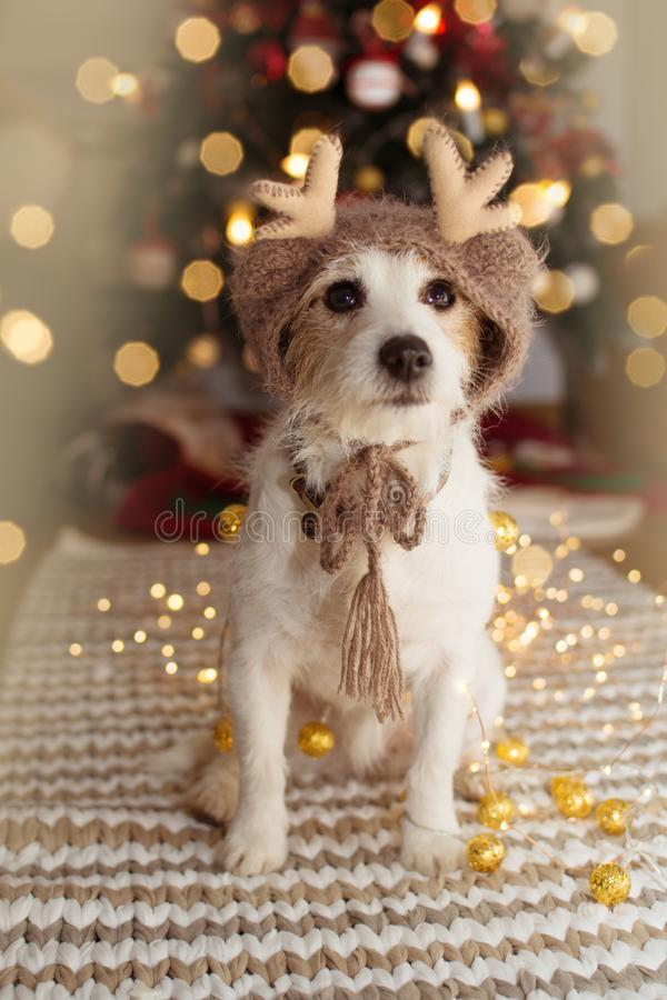 JACK RUSSELL DOG UNDER CHRISTMAS TREE LIGHTS CELEBRATING HOLIDAYS WEARING A REINDEER HAT.  royalty free stock photography
