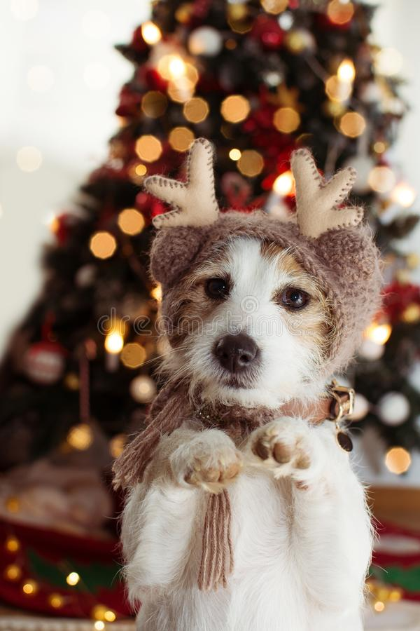JACK RUSSELL DOG UNDER CHRISTMAS TREE LIGHTS CELEBRATING HOLIDAYS WEARING A REINDEER HAT AND STANDING ON TWO HIND LEGS.  stock images