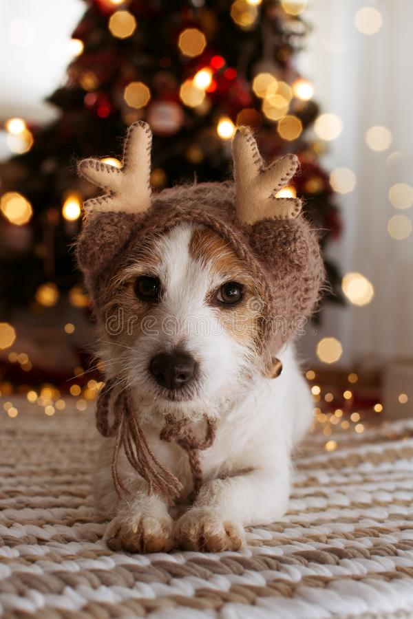 JACK RUSSELL DOG UNDER CHRISTMAS  TREE LIGHTS WEARINGA REINDEER HAT. JACK RUSSELL DOG UNDER CHRISTMAS TREE LIGHTS WEARINGA REINDEER HAT royalty free stock photos