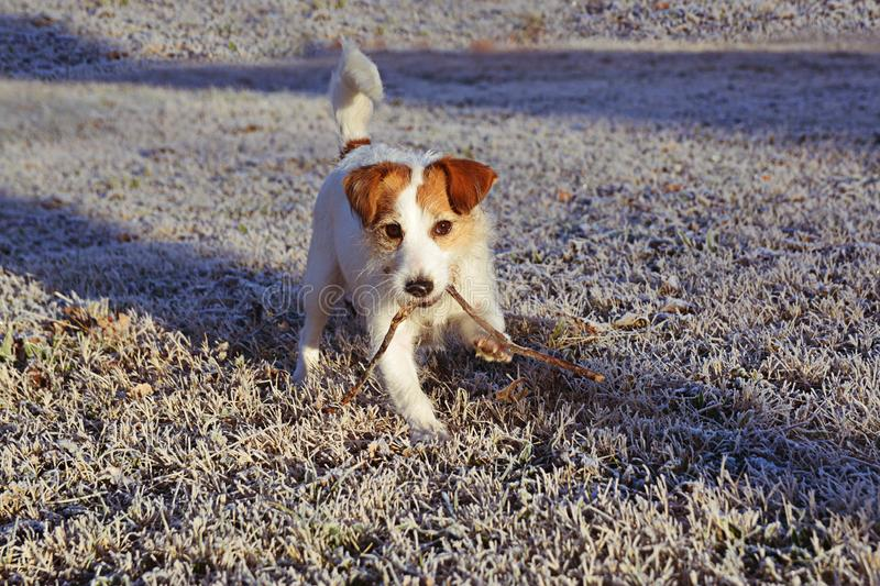 JACK RUSSELL DOG WALKING OVER FROSTEDGRASS ON WINTER. JACK RUSSELL DOG WALKING OVER FROSTED GRASS ON COLD WINTER stock photos