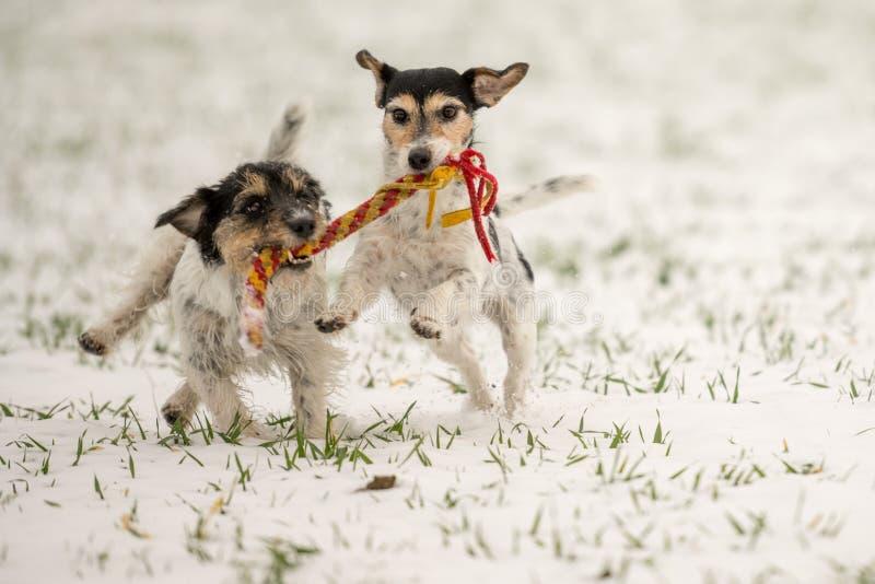 Jack Russell Dogs jouent dans la neige ensemble photo libre de droits
