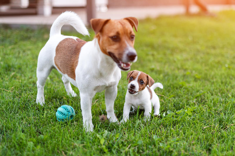 Jack russell dogs playing on grass meadow. Puppy and adult dog outside in the park, summer. Jack russell dogs playing on grass meadow. Puppy and adult dog royalty free stock images