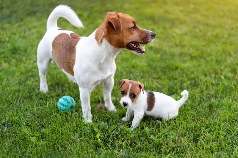 Jack russell dogs playing on grass meadow. Puppy and adult dog outside in the park, summer. Jack russell dogs playing on grass meadow. Puppy and adult dog royalty free stock image