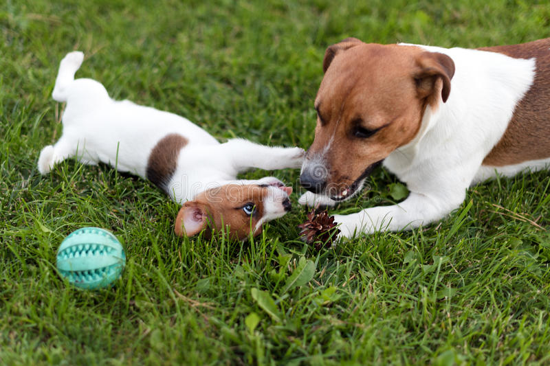 Jack russell dogs playing on grass meadow. Puppy and adult dog outside in the park, summer. Jack russell dogs playing on grass meadow. Puppy and adult dog royalty free stock photography