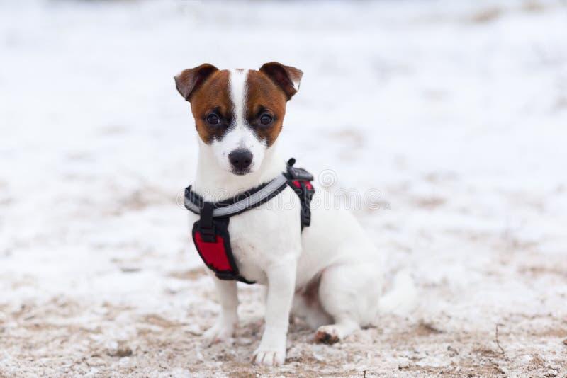 Jack Russell führt ergeben Wintertraining durch lizenzfreies stockbild