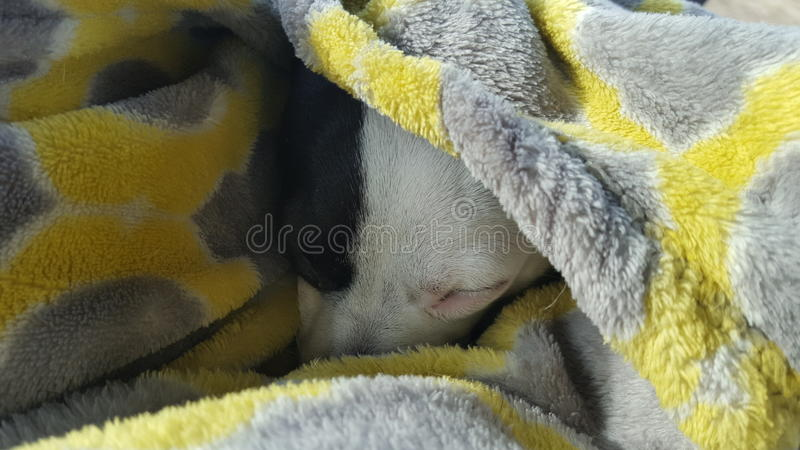 Jack Russell-genoemd puppy chloe stock foto's