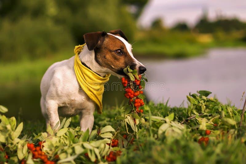 Jack Russell-Herbst in der Eberesche stockbild