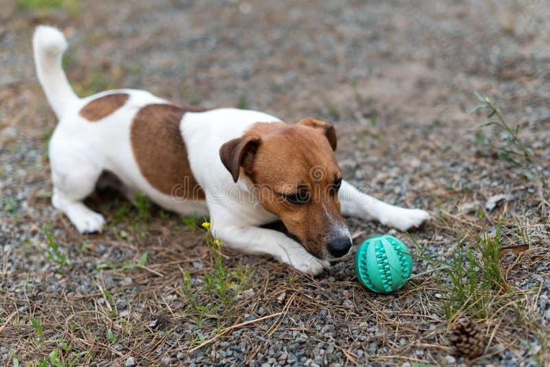 Jack Russell hond het spelen met bal op grasweide royalty-vrije stock foto