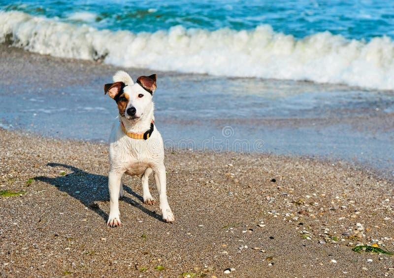 Jack Russell hond in het zand bij het strand op de vakantie van de de zomervakantie stock fotografie