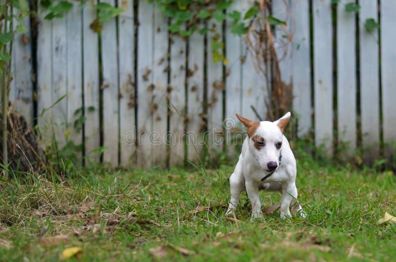 Jack Russell hond schuldig voor het achterschip of shit op gras en weide in park in openlucht stock afbeelding