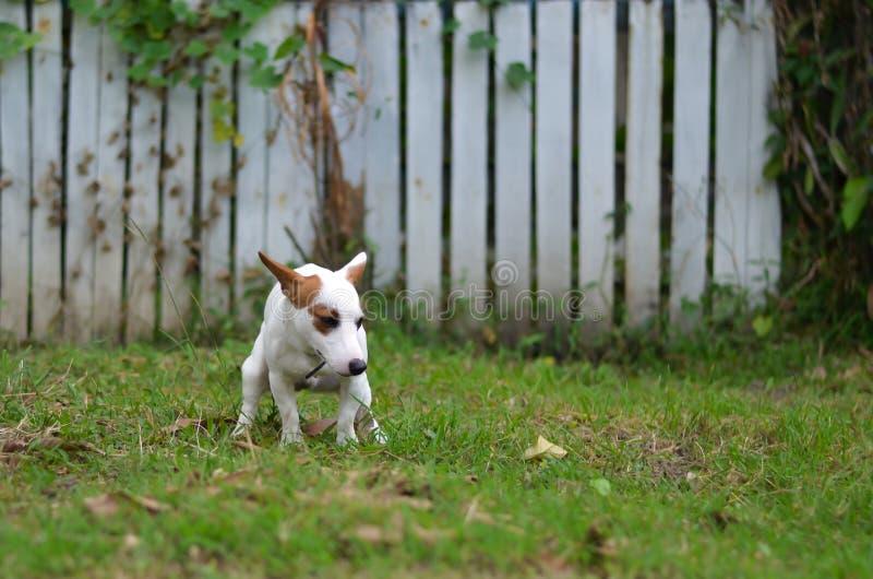 Jack Russell hond schuldig voor het achterschip of shit op gras en weide in park in openlucht royalty-vrije stock foto