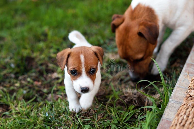 Jack Russell honden die op grasweide spelen Puppy en volwassen hond buiten in het park, de zomer royalty-vrije stock afbeelding