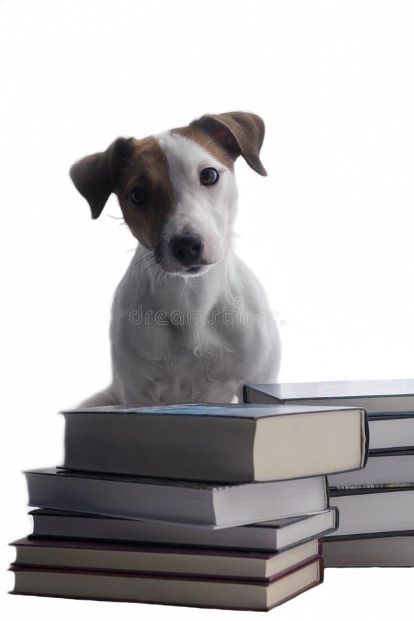 Jack Russell i książki na odosobnionym tle obrazy royalty free