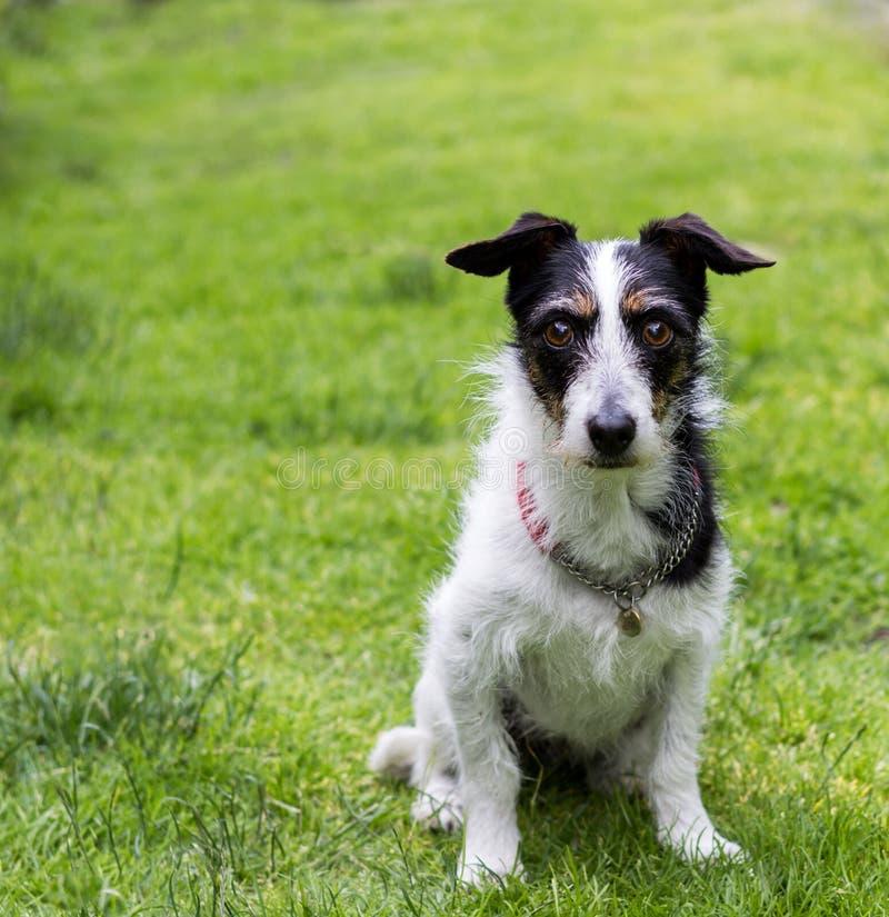 Jack Russell krzyża pies Obsługuje najlepszego przyjaciela siedzi obediently obrazy stock