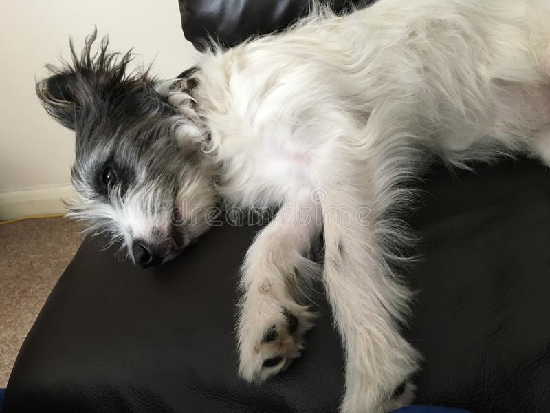Jack Russell laying on sofa, scruffy royalty free stock photography