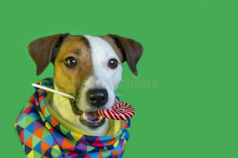 Jack Russell with Lollipop on a green background royalty free stock photography